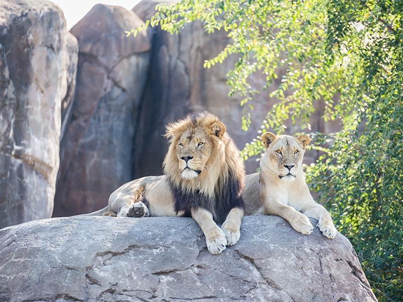To løver liggende på en sten i zoologisk have, som skal illustrere hvad du kan besøge med masseforlængelse af medlemsskaber.